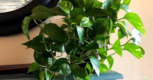vining pothos plant ready to propagate, rooting hormone helps cutting root faster.