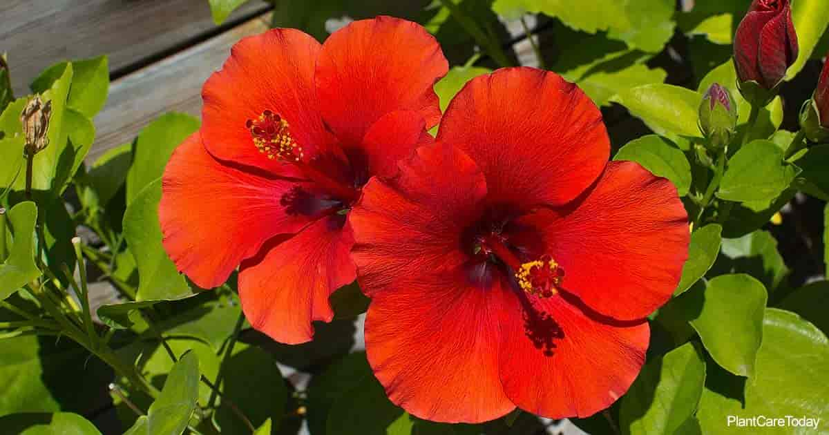 Red blooms of Hibiscus - proper pruning promotes more flowers