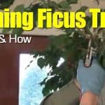 Pruning Ficus Trees: When And How