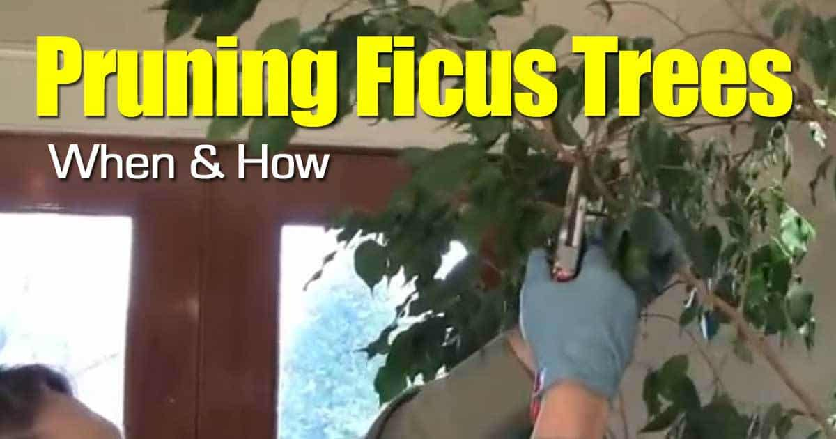 Pruning Ficus Trees When And How