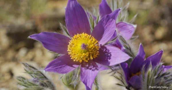 Flowering Pasque Flower (Pulsatilla Vulgaris)