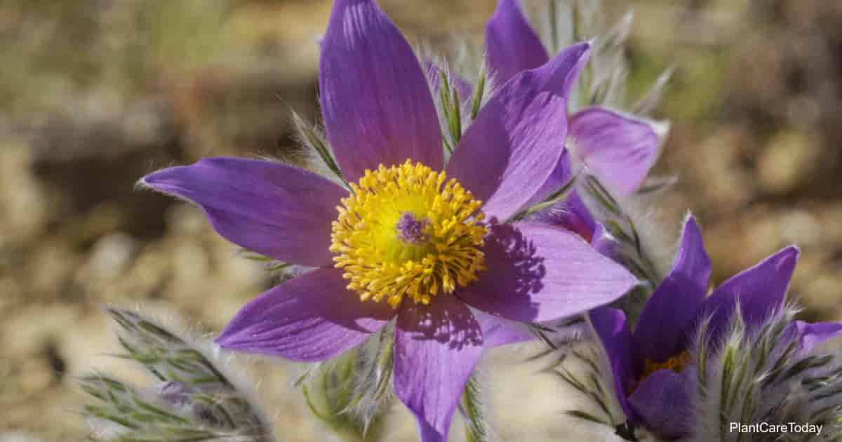 Blooms of the Pasque Flower (Pulsatilla Vulgaris)