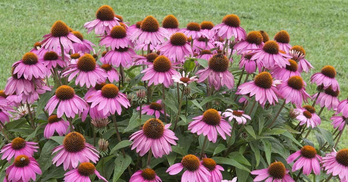 purple-coneflower-echinacea-03312016