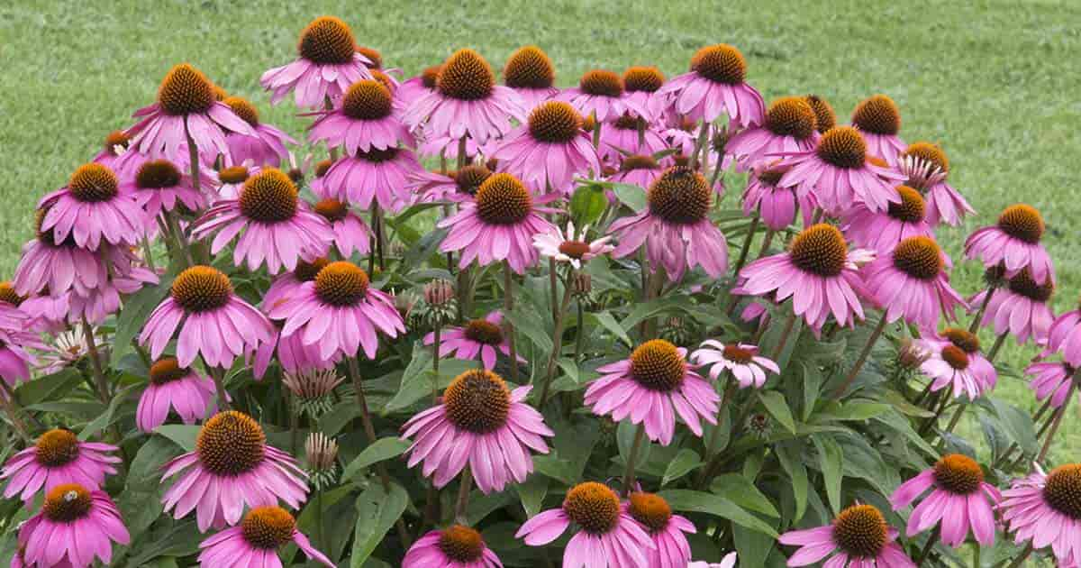 Flowers called pinks gallery flower decoration ideas 20 favorite perennial flowers for the garden echinacea is also commonly called purple coneflower or just mightylinksfo Choice Image