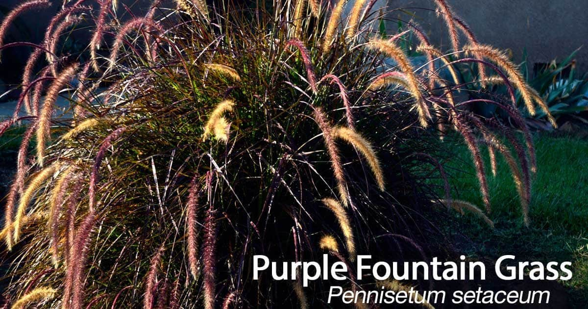 purple fountain grass  how to care for pennisetum setaceam
