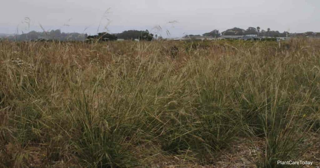 Stipa pulchra (purple_needle_grass) growing in restored coastal prairie habitat