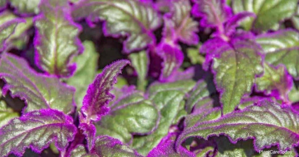 Popular purple passion plant