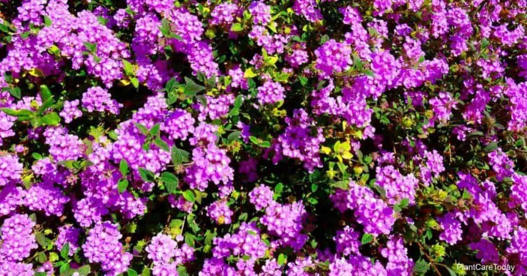 Blooms of the Purple Trailing Lantana