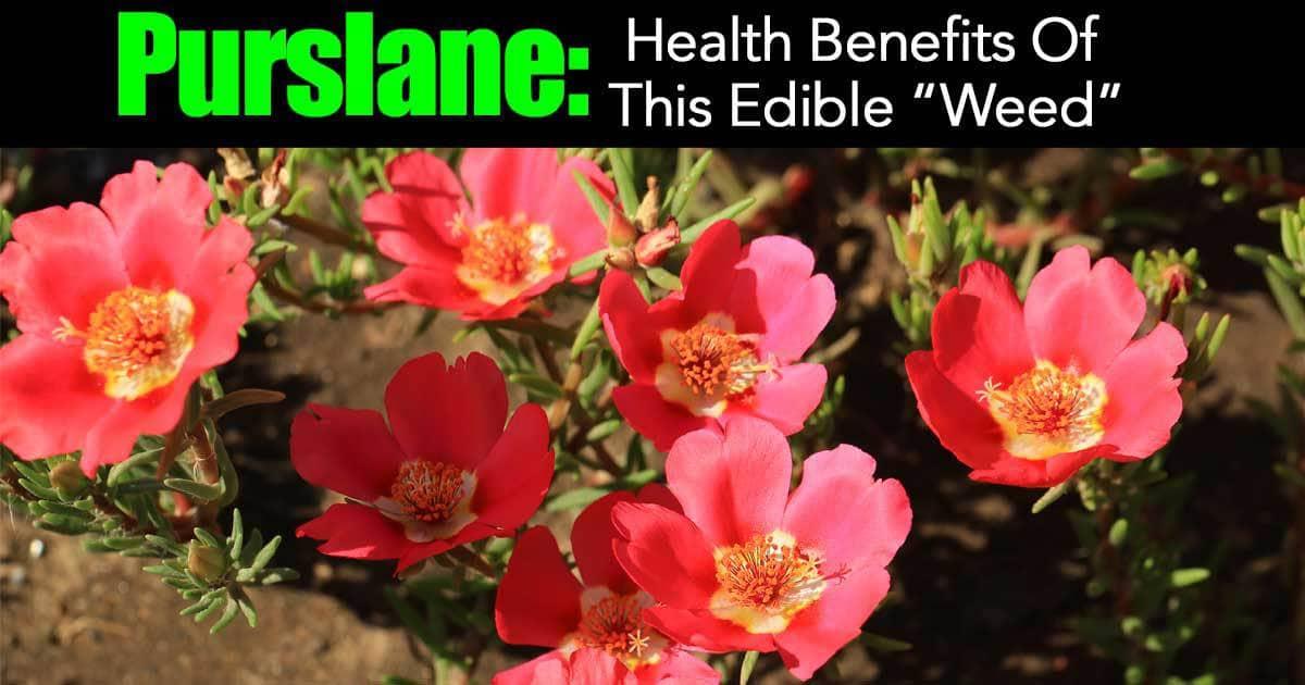 purslane-health-benefits-03312016