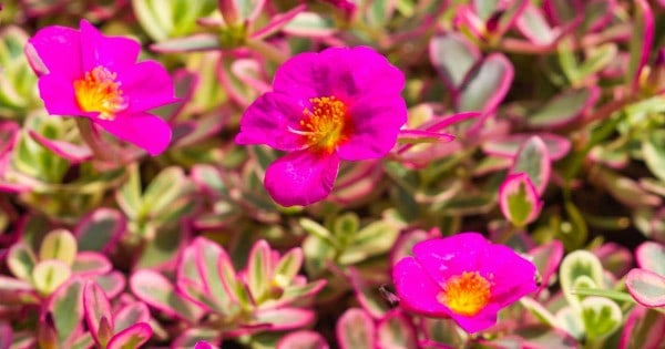 blooms of the purslane plant