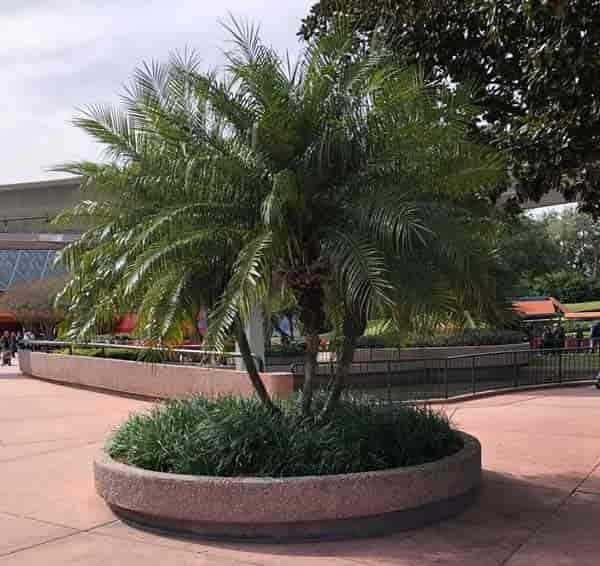 Multi Pygmy Date palm - Phoenix Roebelenii