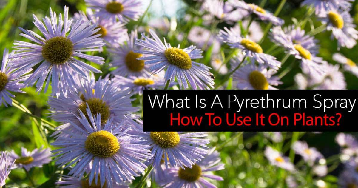 "Pyrethrum Spray - An established commonly used natural pesticide and considered one of the best and safest ""organic insecticide sprays"""