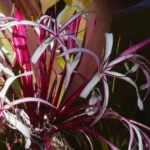 Flowers of the Queen Emma Crinum