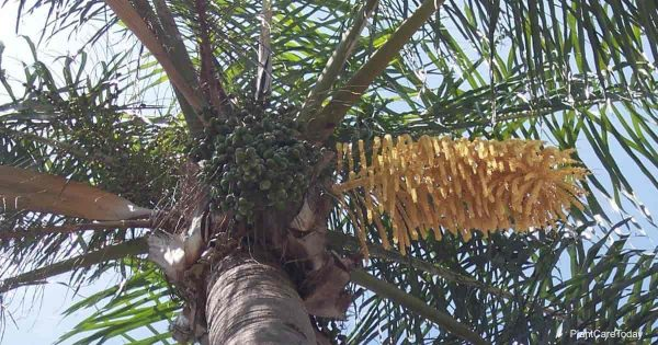 fronds and green fruit of the Queen Palm (Syagrus Romanzoffiana)