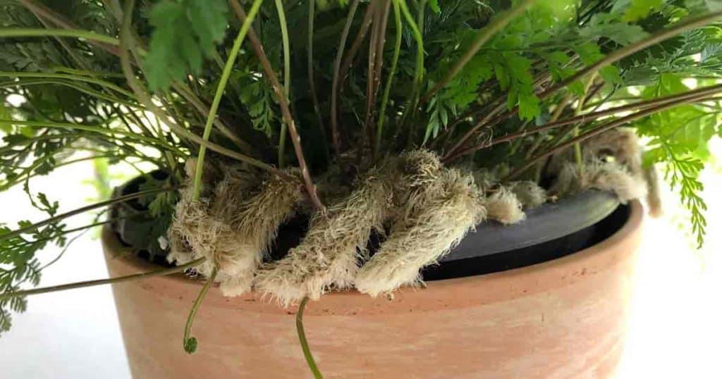 Potted Rabbits foot - Davallia Fejeensis