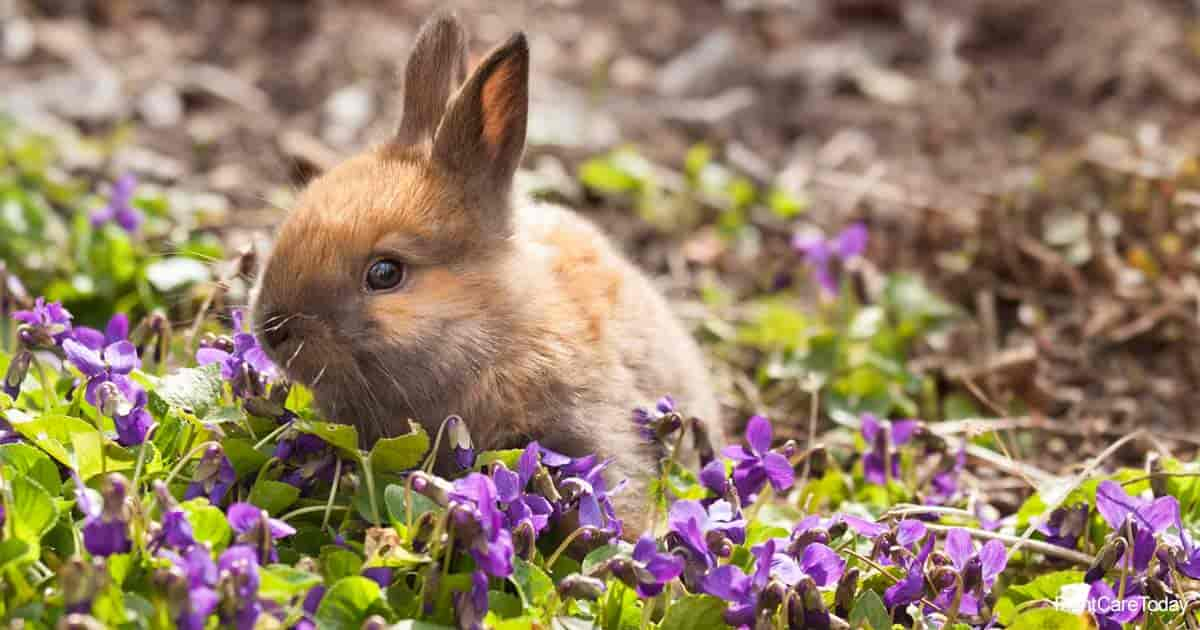 baby rabbit eating on Viola plants and blooms