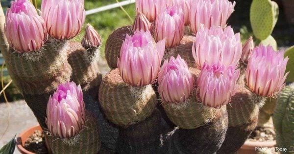blooming potted rainbow cactus synonym (echinocereus rigidissimus)