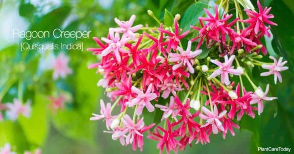 Flowers of the Rangoon Creeper (Quisqualis Indica)