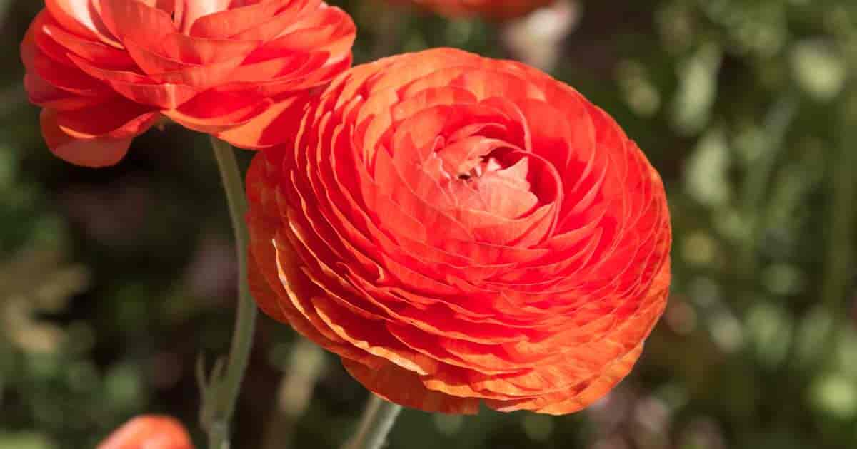 Orange Ranunculus flower unclose