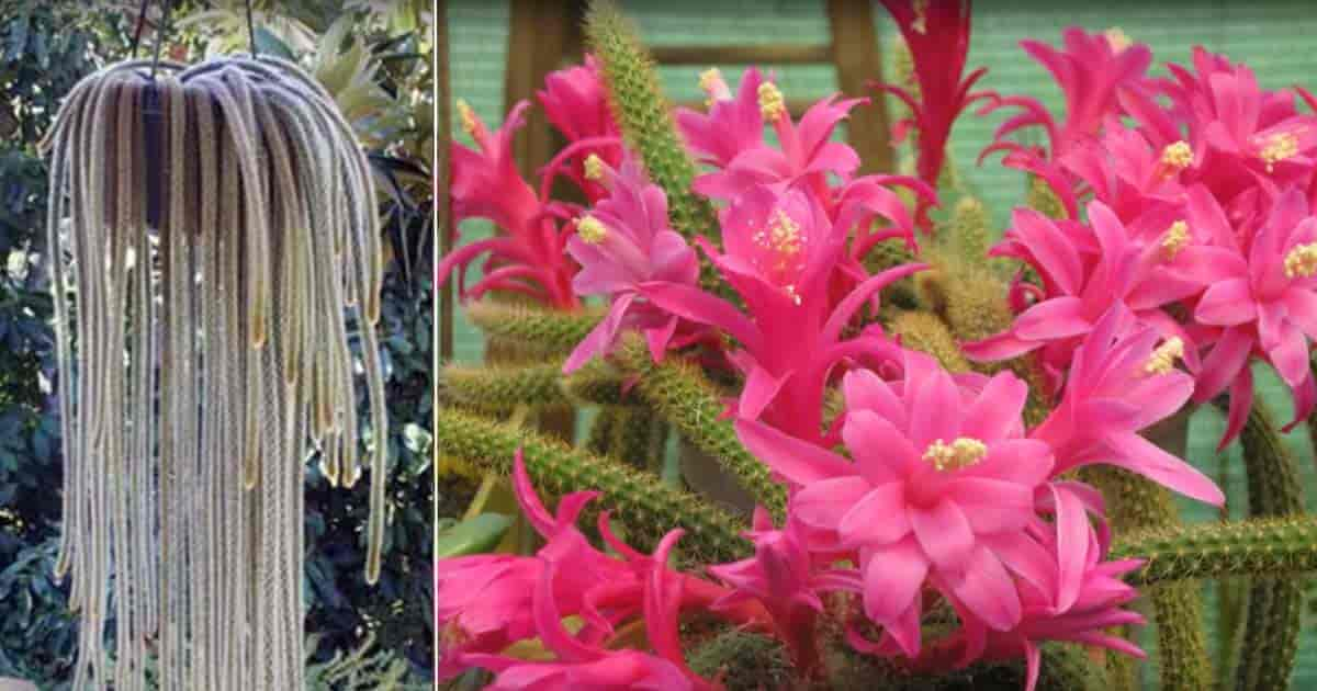 hanging basket of mature rat tail cactus and flowers up close