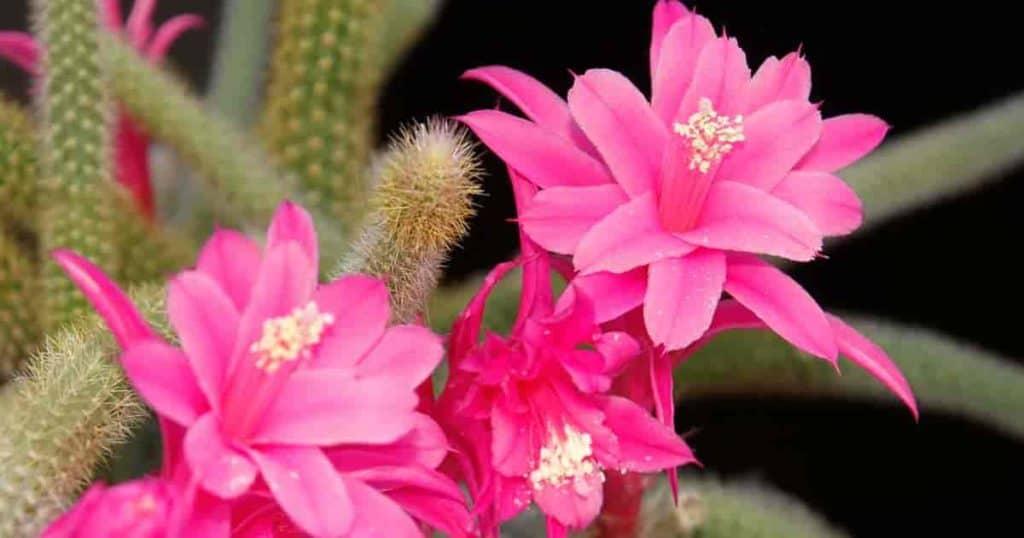 rat tail cactus flowers - aka Aporocactus flagelliformis