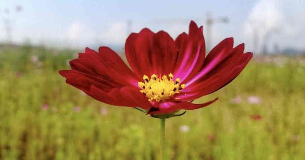 Red Cosmos flower growing in field