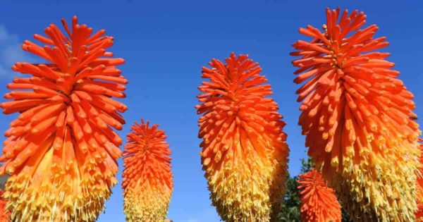 Blooming Red Hot Poker Flower lily