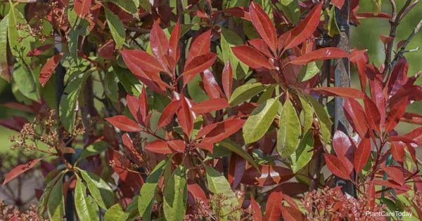 Attractive foliage of the Red Tip Photinia Shrub