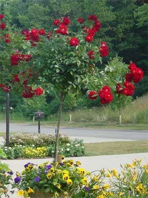 red-tree-rose