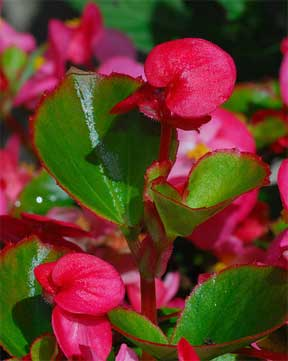 red-wax-begonia-close-08312015