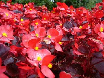 red-wax-begonias-08312015