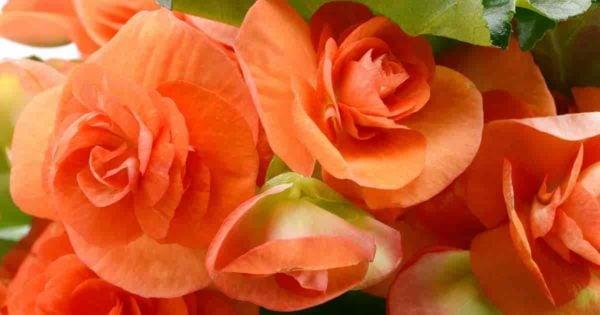 Close up of orange flowers of Reiger begonias
