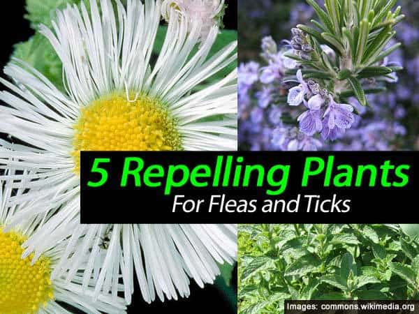 5 plants that repel ticks and fleas. Black Bedroom Furniture Sets. Home Design Ideas