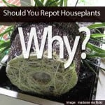 Should You Repot Houseplants? Why