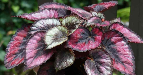 colorful leaves of begonia rex potted