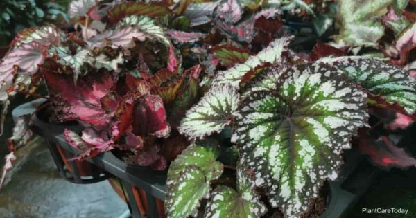 The attractive foliage of the Rex Begonia