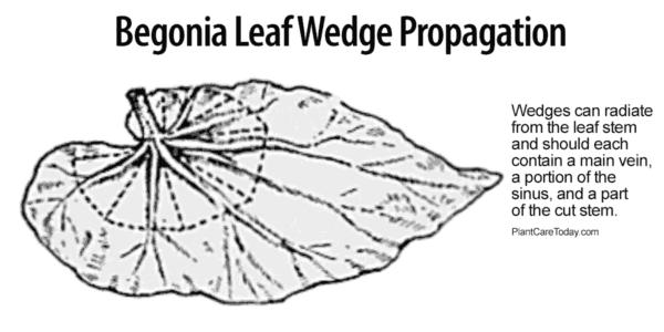 wedge propagation of a begonia leaf