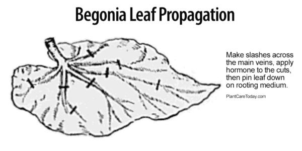 Propagación de hojas de begonia mostrando dónde cortar las venas.
