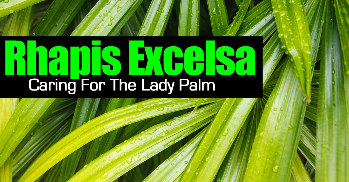 Caring For Indoor Palms - on indoor foliage plants, indoor houseplants, home depot plants, types of indoor plants, indoor fruit plants, indoor blackberry plants, indoor ponytail palm, indoor palm trees, indoor palms low light, dracaena like plants, indoor potted palms, indoor tree plants, low light indoor plants, large indoor plants, indoor corn plant, tall indoor plants, indoor yucca plant, best indoor plants, indoor palm bushes, kentia palms plants,