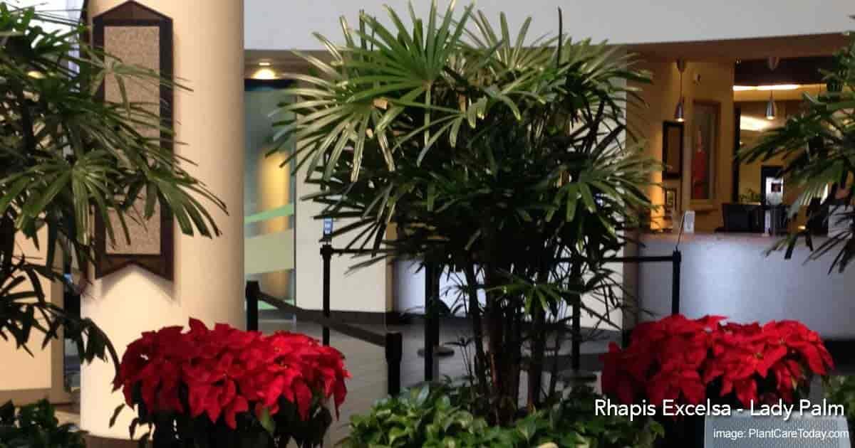 Rhapis Lady Palms - Winnie Palmer Hospital, Orlando Florida