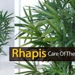 Rhapis Excelsa: The Lady Palm And Its Care