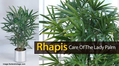 rhapis-palm-121613
