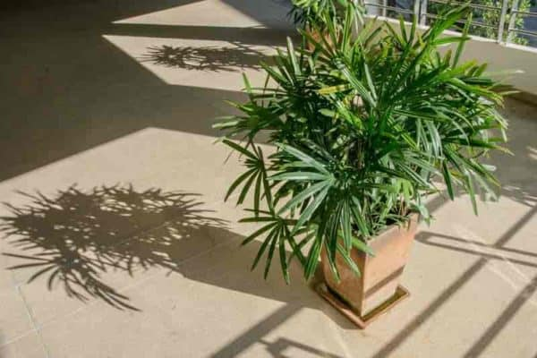 Potted Lady Palm (Rhapis Excelsa)