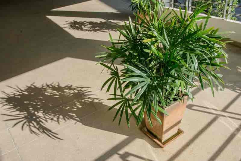 Potted Rhapis excelsa palm