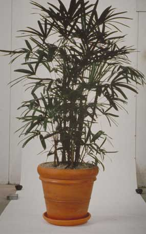 Lady Palm Plant Care: [HOW TO] Grow The Broadleaf Rhapis Excelsa Palm