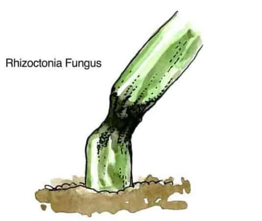 drawing of rhizoctonia disease