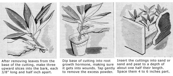 graphic on starting cuttings of azalea bushes