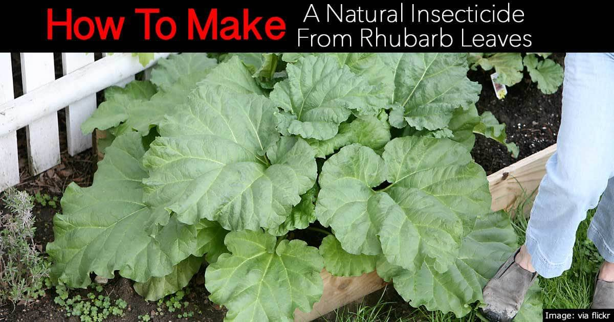 make insecticide from rhubarb leaves