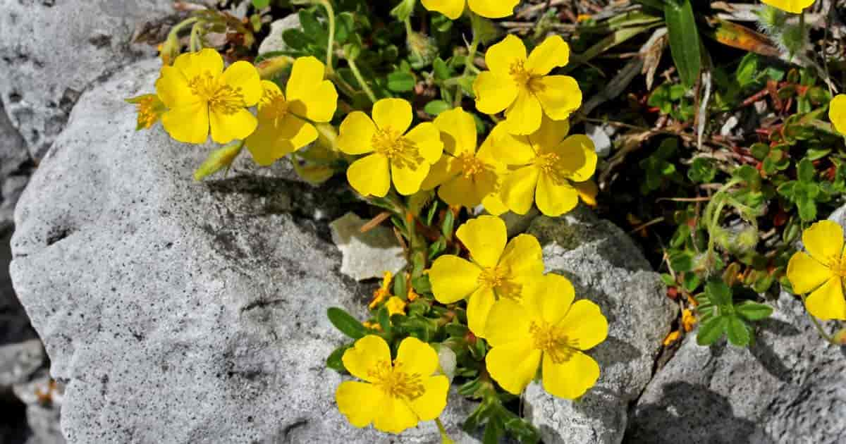 bright blooms of the rock rose (Helianthemum)