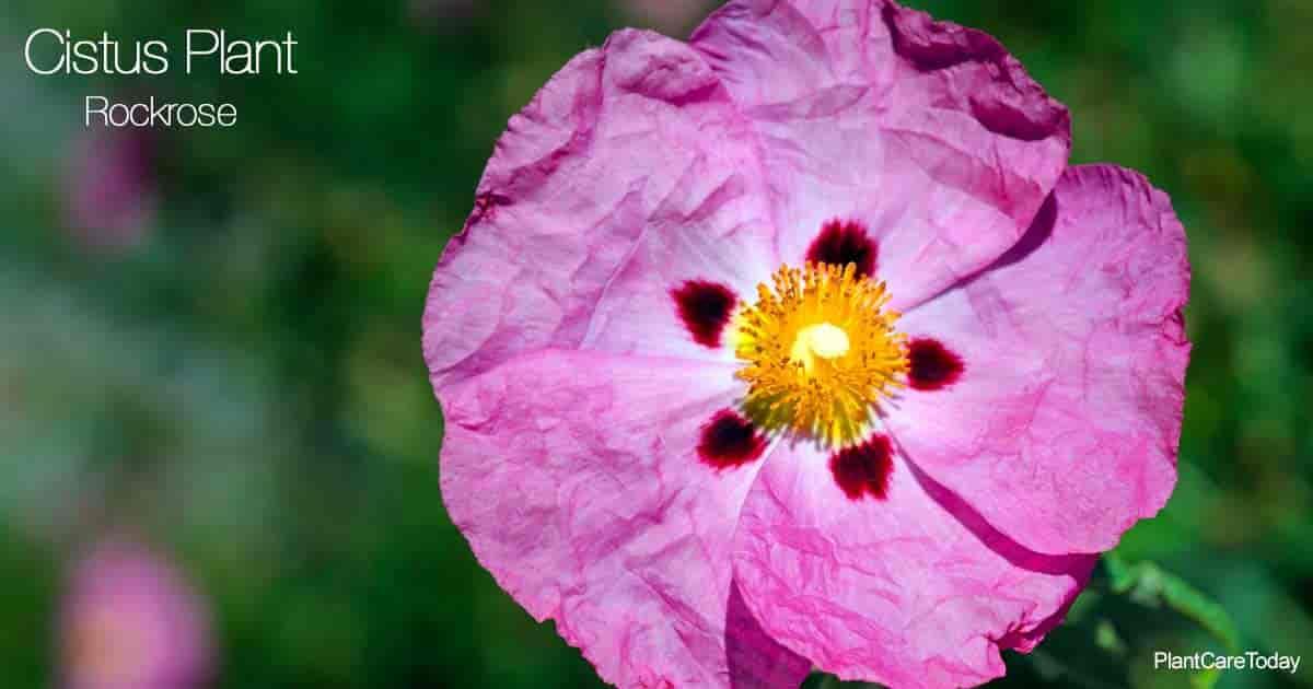 Blooming Cistus Plant aka Rockrose
